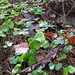 Small photo of Oxalis acetosella