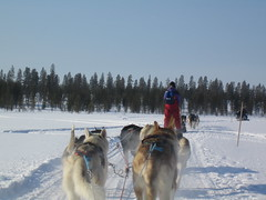 pet(0.0), dog(1.0), winter(1.0), mushing(1.0), dog sled(1.0), land vehicle(1.0), sled dog racing(1.0), sled dog(1.0),