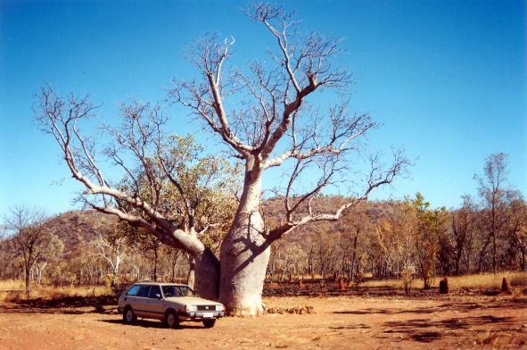 outbacktree_jpg