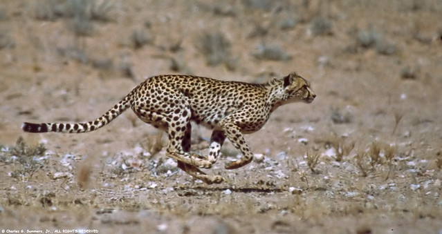 05150-03017 Cheetah running full speed toward unseen prey ...