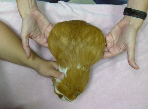 Very Pregnant Guinea Pig | Flickr - Photo Sharing!