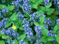 hydrangea serrata(0.0), glechoma hederacea(0.0), hydrangea(1.0), annual plant(1.0), flower(1.0), plant(1.0), herb(1.0), wildflower(1.0),