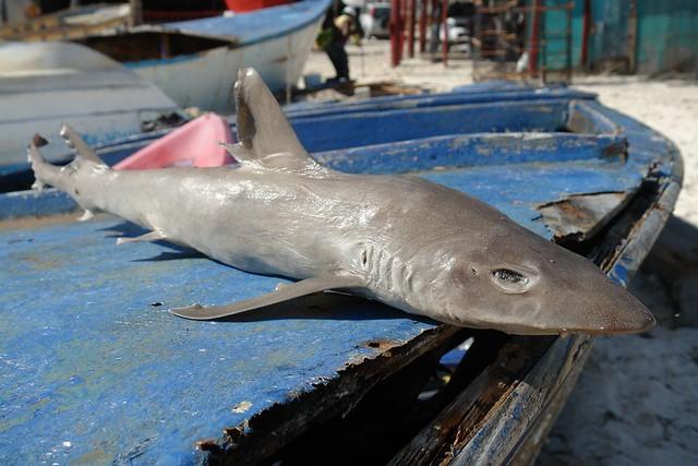 Aunque no es lo normal, pero a la playa pueden acercarse crías de tiburón que no son menos peligrosos que lo grandes. Punta Cana - 2526010772 0fcf18014a z - Punta Cana, paraíso terrenal donde nace el sol