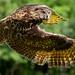 Eurasian Eagle Owl in Flight by t.sullivan photography