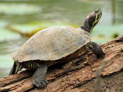 Kenilworth Aquatic Gardens Turtle