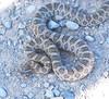 """<a href=""""http://www.flickr.com/photos/jroldenettel/1699274264/"""">Photo of Arizona elegans by Jerry Oldenettel</a>"""