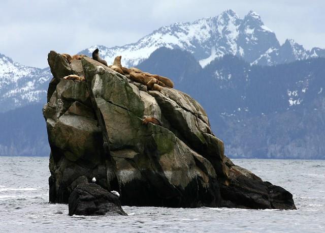 Leones marinos de Steller en Bahía Resurreción, Península de Kenai, Alaska.