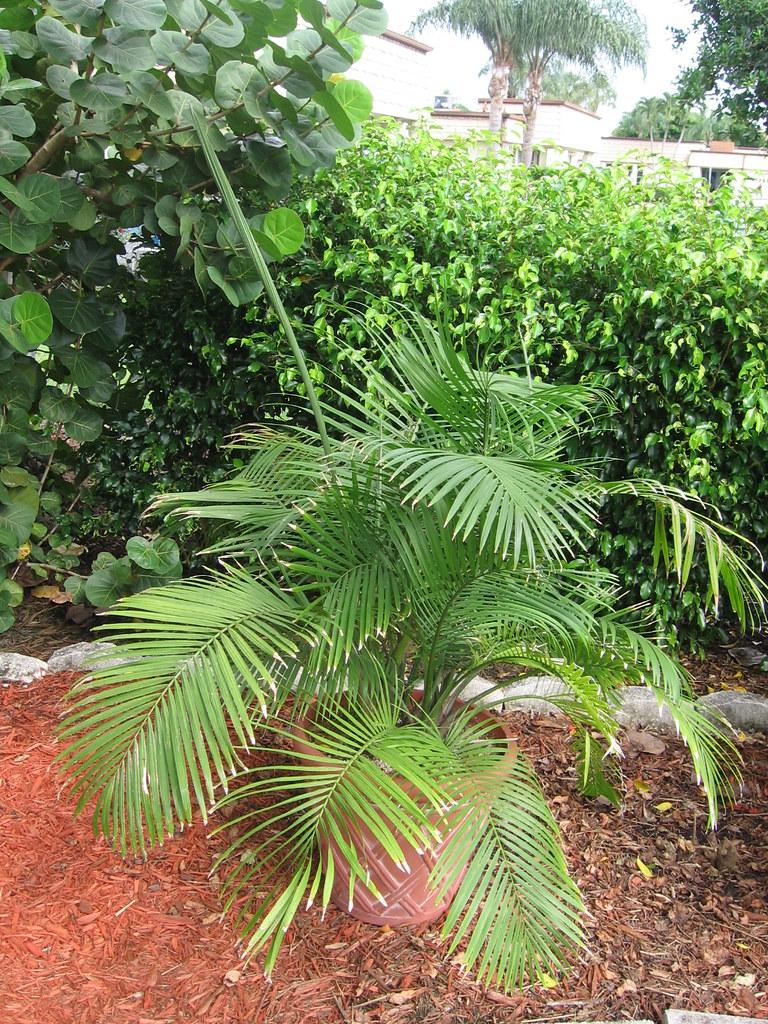 graines de palmier palmier nain chamaedorea elegans lot de 10 graines et ebay. Black Bedroom Furniture Sets. Home Design Ideas