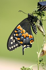 Black Swallowtail Butterfly Life Cycle