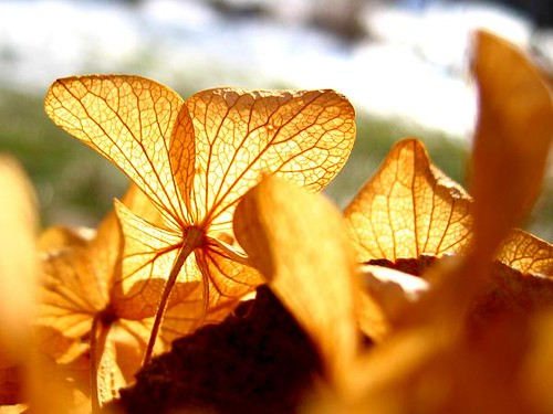 flowers winter brown macro yellow gold hydrangea
