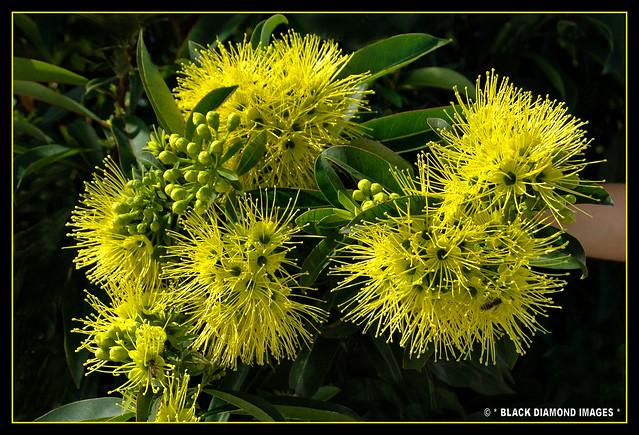 Yellow flowering trees a gallery on flickr xanthostemon chrysanthus golden pendayellow penda mightylinksfo