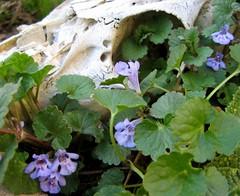 garden(0.0), wildflower(0.0), annual plant(1.0), flower(1.0), plant(1.0), glechoma hederacea(1.0),
