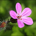 Herb robert - Photo (c) Steve Chilton, some rights reserved (CC BY-NC-ND)