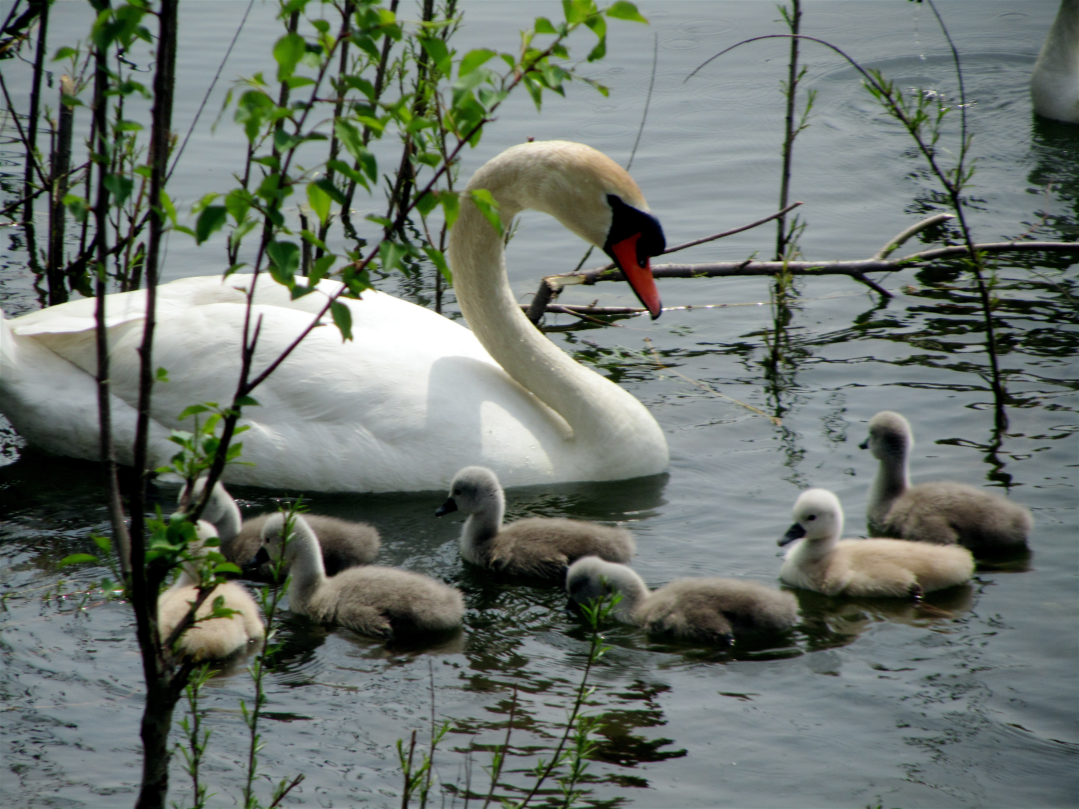 Another Spring, Another Swan Family