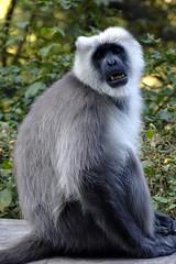 animal, monkey, mammal, langur, fauna, old world monkey, wildlife,