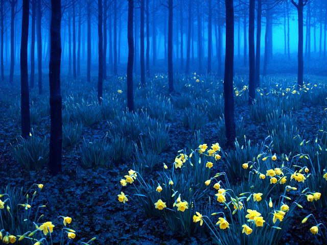 1033 Daffodils (blue version)