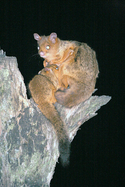 Chinese giant flying squirrel - photo#11
