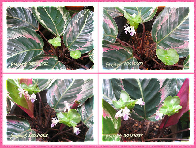 photo collage on flowering calathea roseo picta cv   u0026 39 eclip u2026