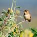 Small photo of Allen's Hummingbird (Selasphorus sasin)