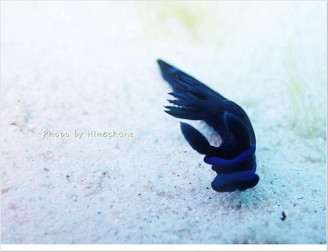 砂地を徘徊中。ミドリリュウグウミウシ