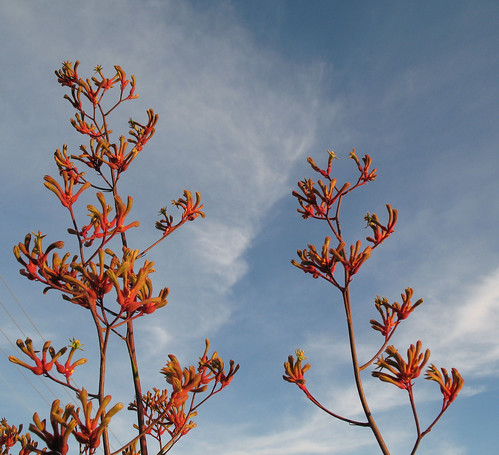 Kangaroo paws at sunset 2