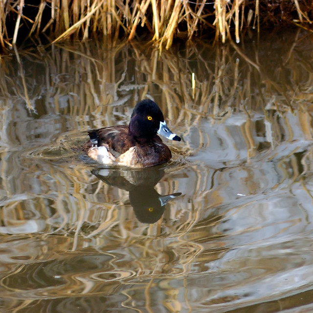 Ring-necked Duck Friday Reflections