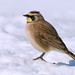 Horned Lark - Photo (c) Eric Bégin, some rights reserved (CC BY-NC-ND)