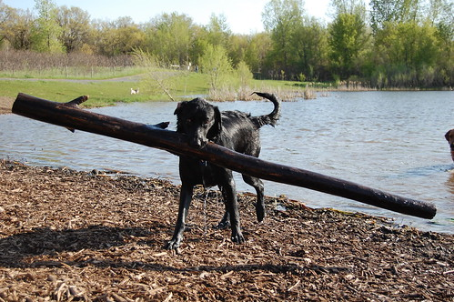 black Labrador picking up a big stick