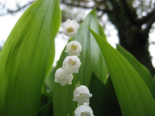Lilly of the Mountaintop