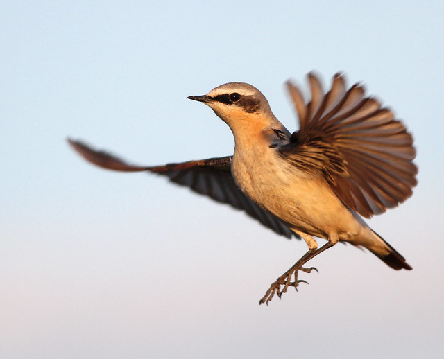 Steindepill / Wheatear / Oenanthe oenanthe