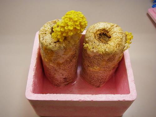 香菇成長紀錄01-31