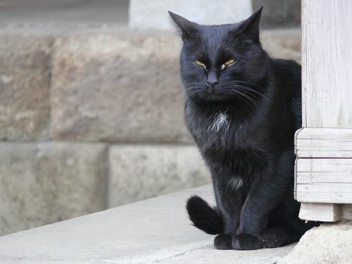 Black Cat @ Hakusan Shrine