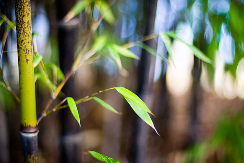 Bamboo Bokeh Bliss