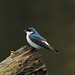 Mangrove Swallow - Photo (c) Jerry Oldenettel, some rights reserved (CC BY-NC-SA)