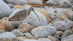 Long-billed Curlew _MG_5127