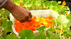 """A beautiful academic partnership is blooming across the Hawaiʻi Community College campus. The agriculture program is providing produce for the campus' culinary program and students on both sides are thrilled.  Learn more: <a href=""""http://www.hawaii.edu/news/2017/02/24/powerful-pioneering-ag-to-culinary-partnership-pleases-palates/"""" rel=""""nofollow"""">www.hawaii.edu/news/2017/02/24/powerful-pioneering-ag-to-...</a>"""