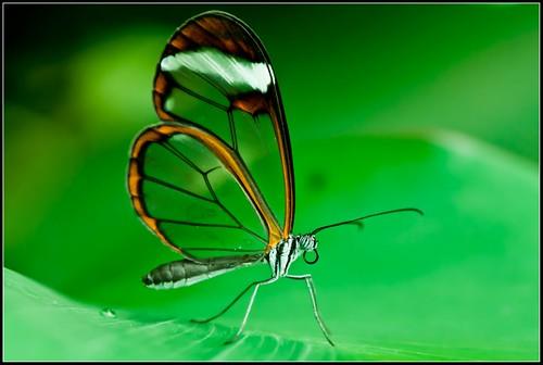 Greta oto/Glasswinged butterfly/Glasswing butterfly/espejitos by {deepapraveen very busy with work..back soon