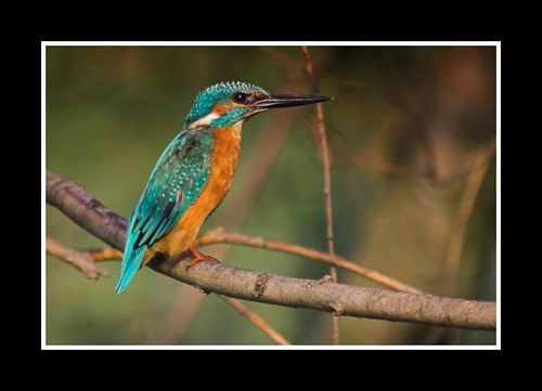Guarda Rios - Alcedo atthis - Kingfisher