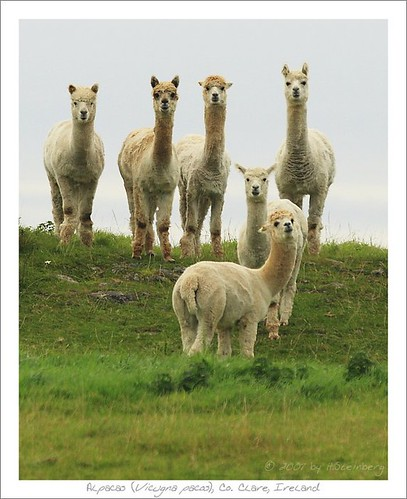 Alpacas, Co. Clare, Ireland
