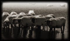 Sheep at the watering hole in Oregon