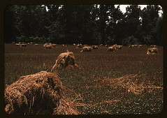 Typical southeastern Georgia farm with newly harvested field of oats  (LOC)