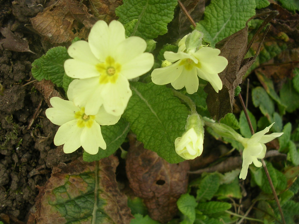 Primroses First of the year. Snodland to Sole Street