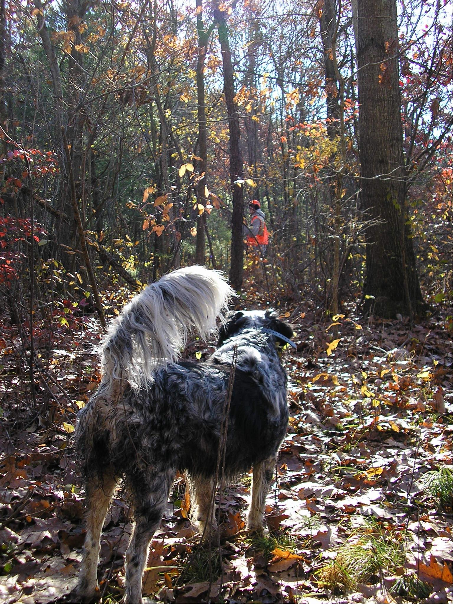 Image Result For Pheasant Hunting Dog