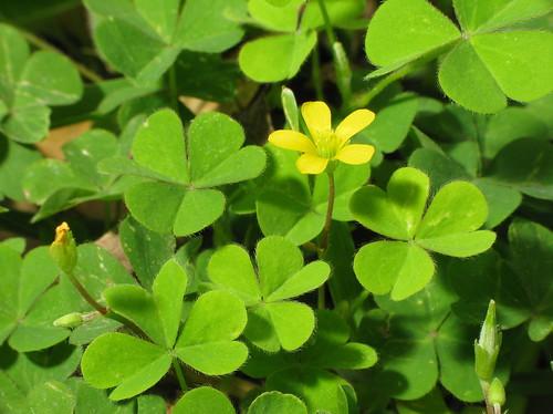 Image gallery shamrock flowers - Shamrock houseplant ...