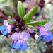 maiden blue-eyed mary - Photo (c) Mike Carroll, some rights reserved (CC BY-NC-SA)