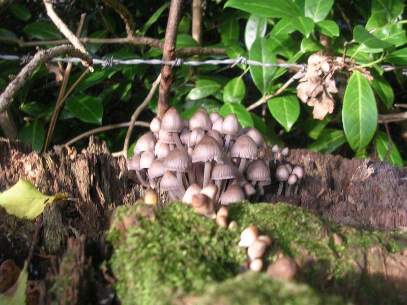 Fungi Possibly Trooping Crumble Cap. Sevenoaks circular
