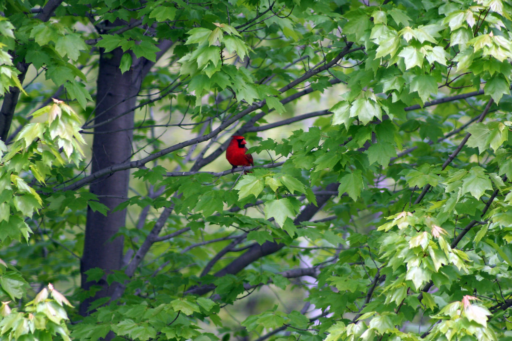 male cardinal in a maple(?) tree