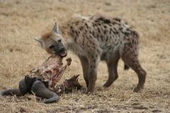 jackal(0.0), viverridae(0.0), animal(1.0), mammal(1.0), hyena(1.0), fauna(1.0), wildlife(1.0),