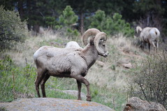 animal, sheeps, sheep, argali, mammal, horn, barbary sheep, fauna, mountain goat, bighorn, wildlife,