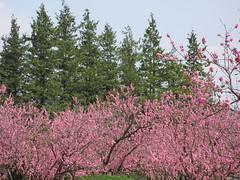 Peach grove / 桃林(ももばやし | とうりん)